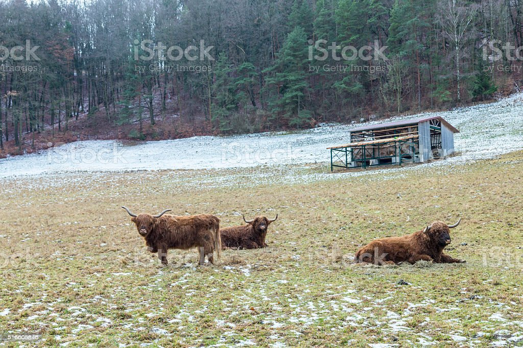 galloway cows grazing at the meadow stock photo