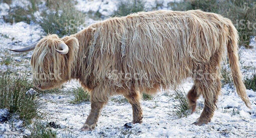 Galloway in winter stock photo
