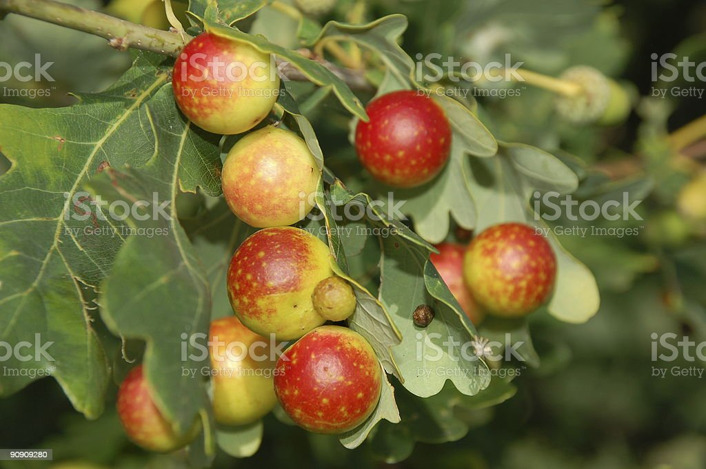 Galls on oak leaf, caused by gall-wasp stock photo