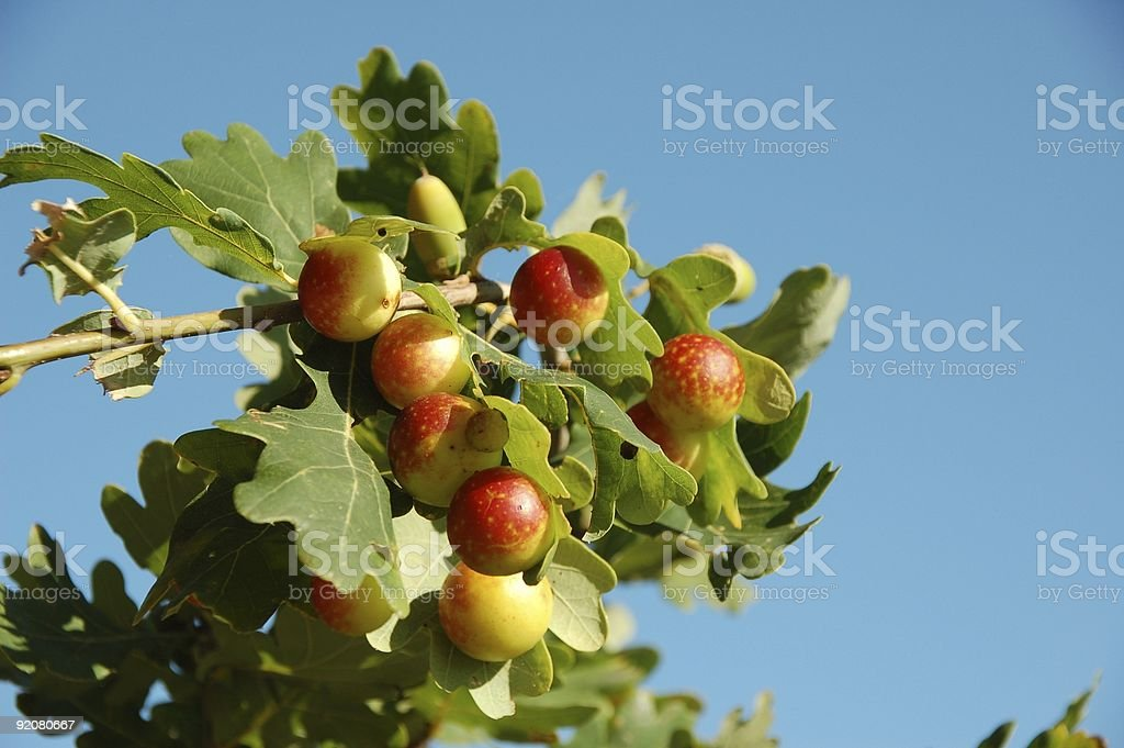 Galls on oak leaf stock photo