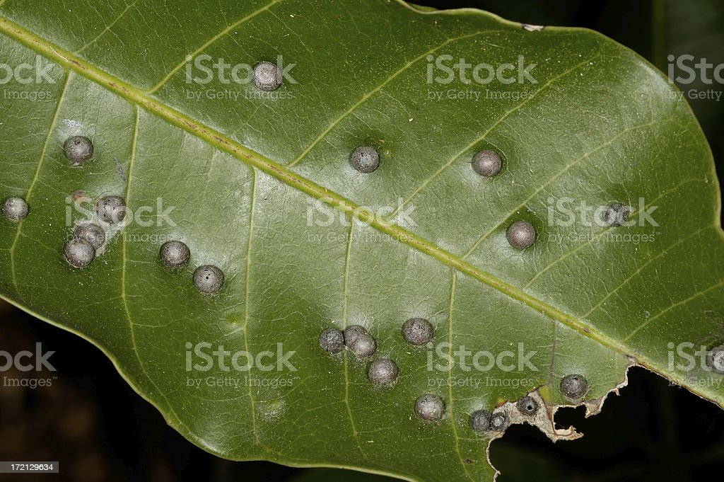 Galls stock photo