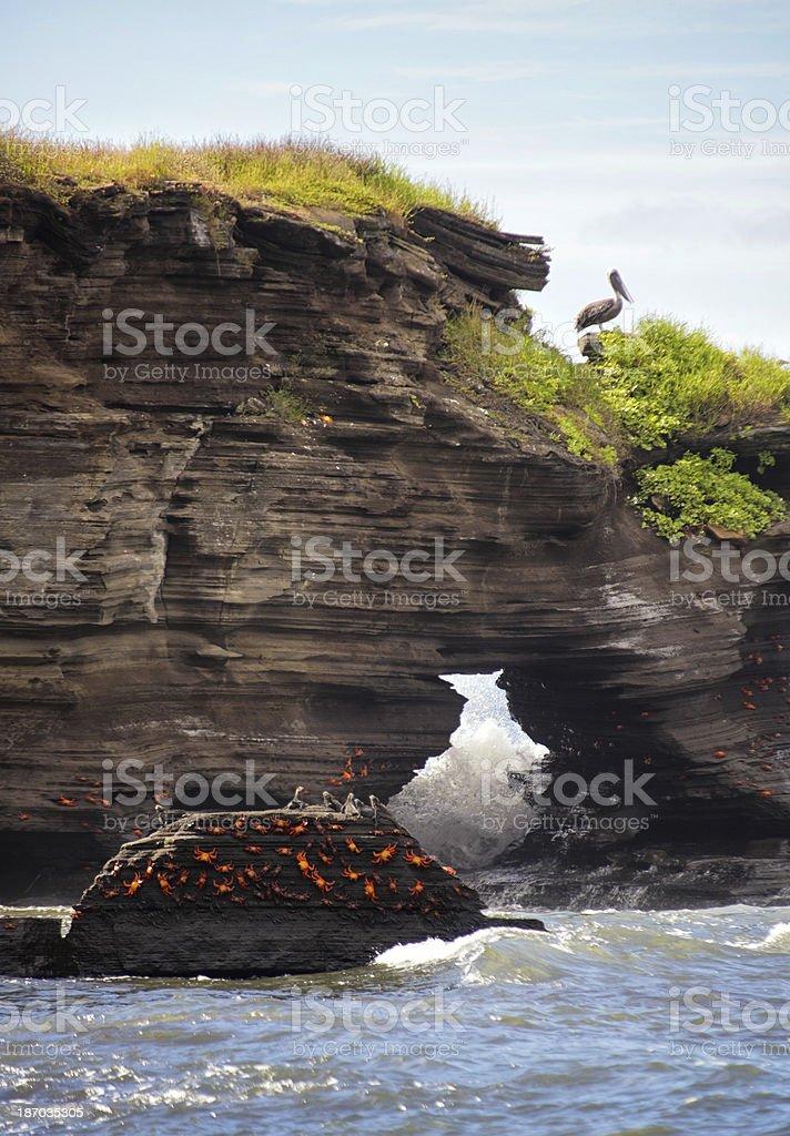 Gal?pagos Brown Pelican and Sally Lightfoot Crabs - Bartolom?, Galapagos royalty-free stock photo
