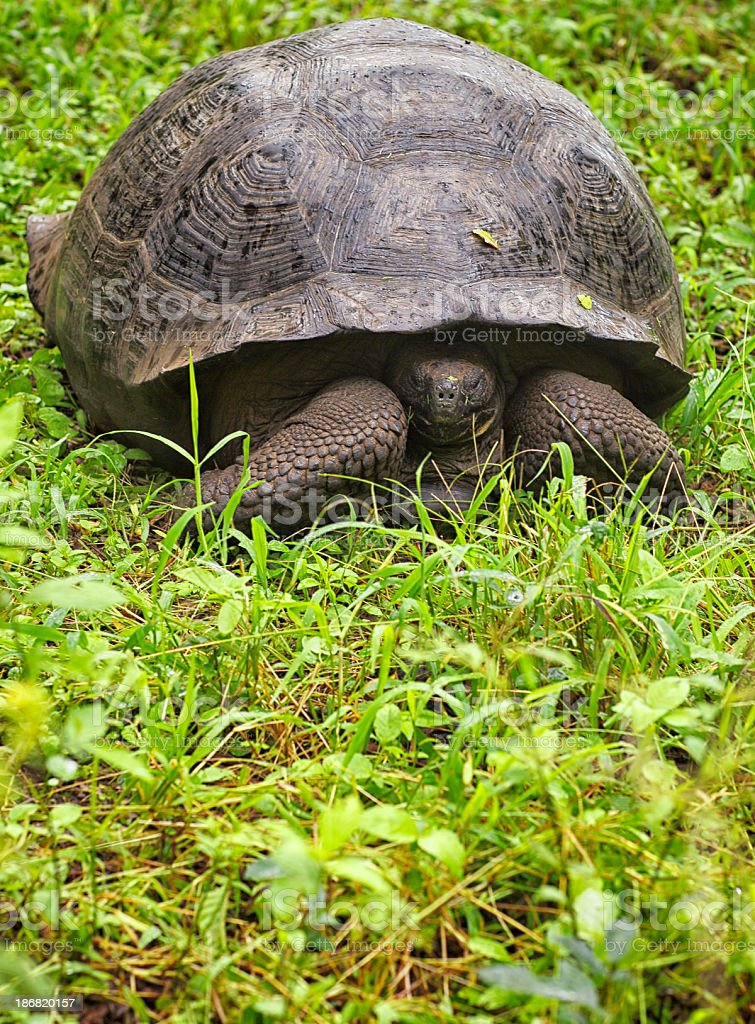 Galápagos Giant Tortoise - Santa Cruz Island, Galapagos stock photo