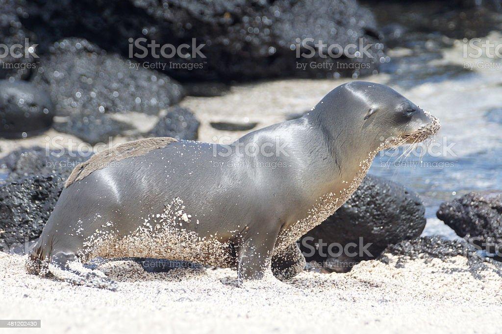 Gal?pagos sea lion stock photo