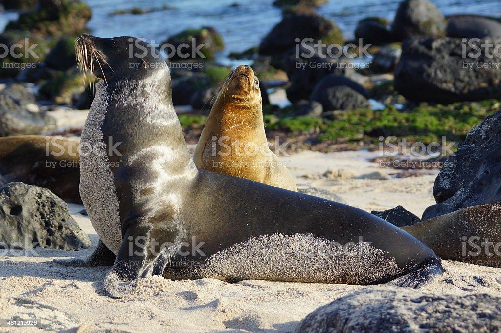 Galápagos sea lion stock photo