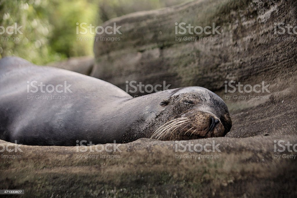 Galápagos Sea Lion - Santiago Island, Galapagos stock photo