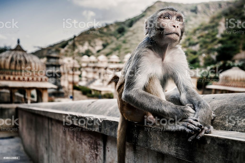 Galtaji, India - September 21, 2015 Monkey at Galtaji stock photo