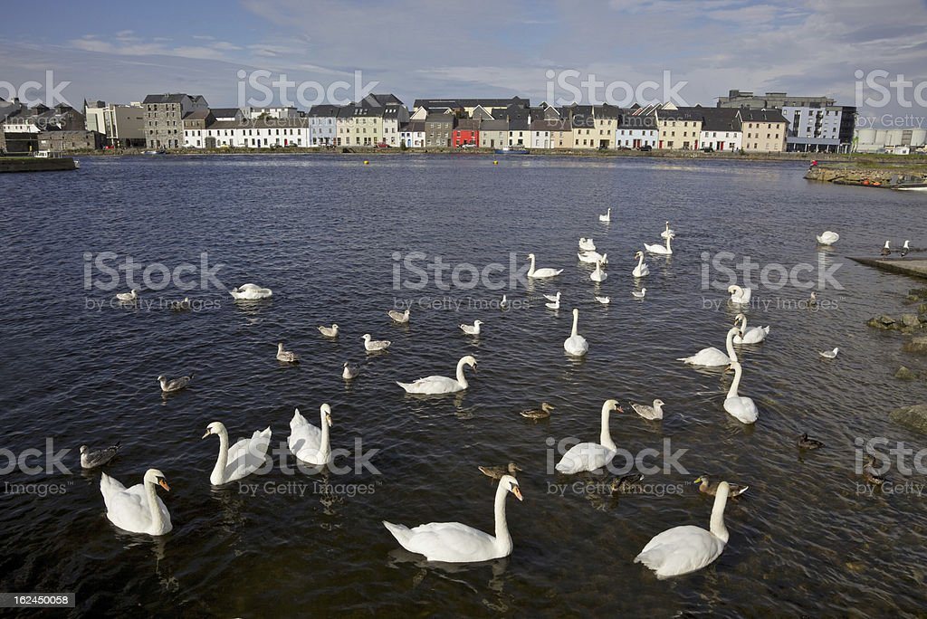 Galway Swans royalty-free stock photo