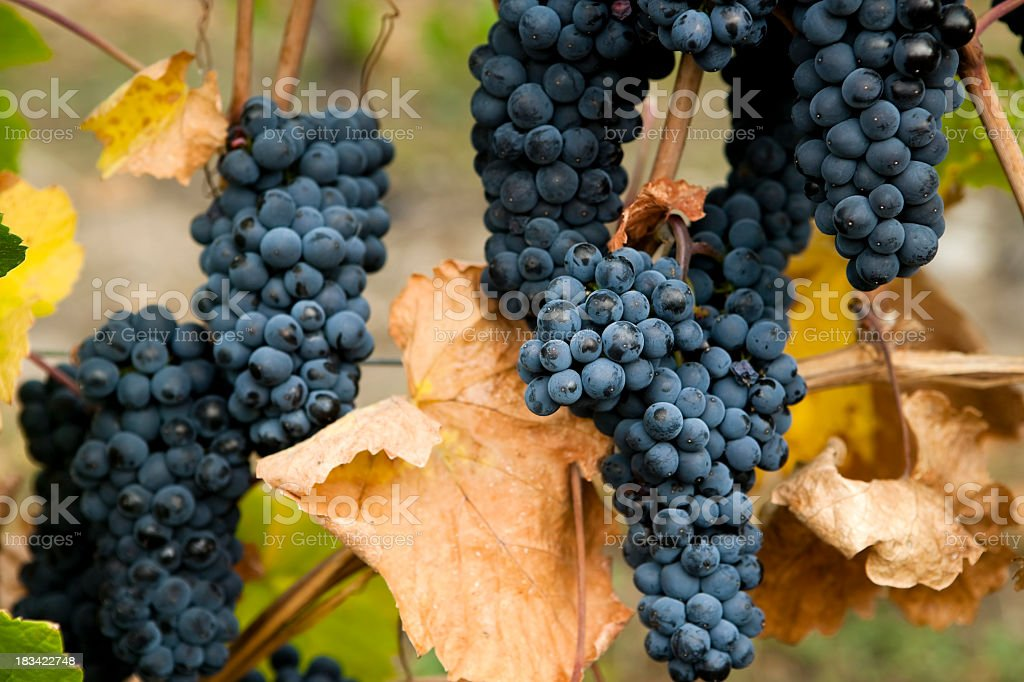 gamay noir grapes stock photo