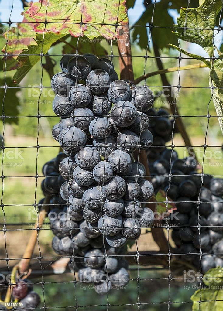 Gamay Red Wine Grapes royalty-free stock photo