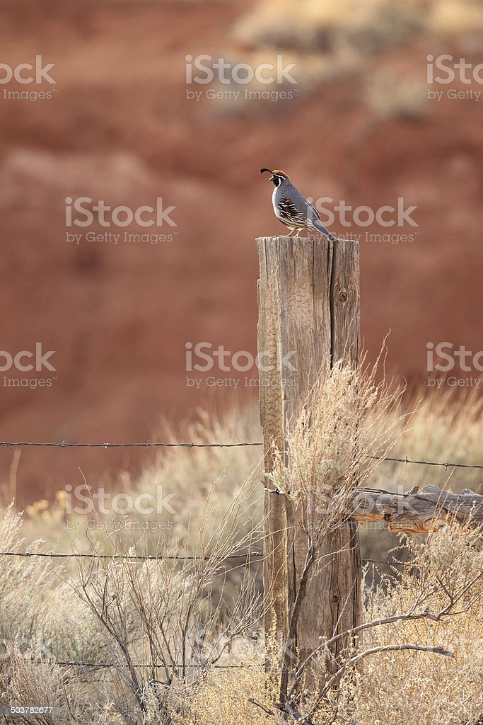 Gambel's Quail on Fence royalty-free stock photo