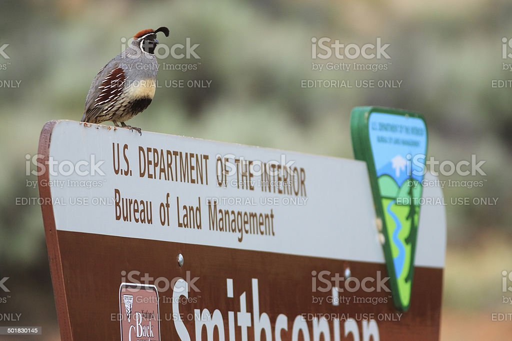 Gambel's Quail on Road Sign stock photo