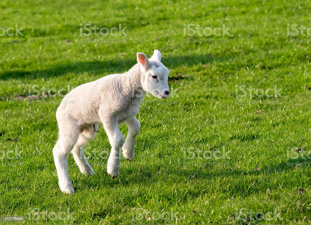 Gambolling lamb stock photo