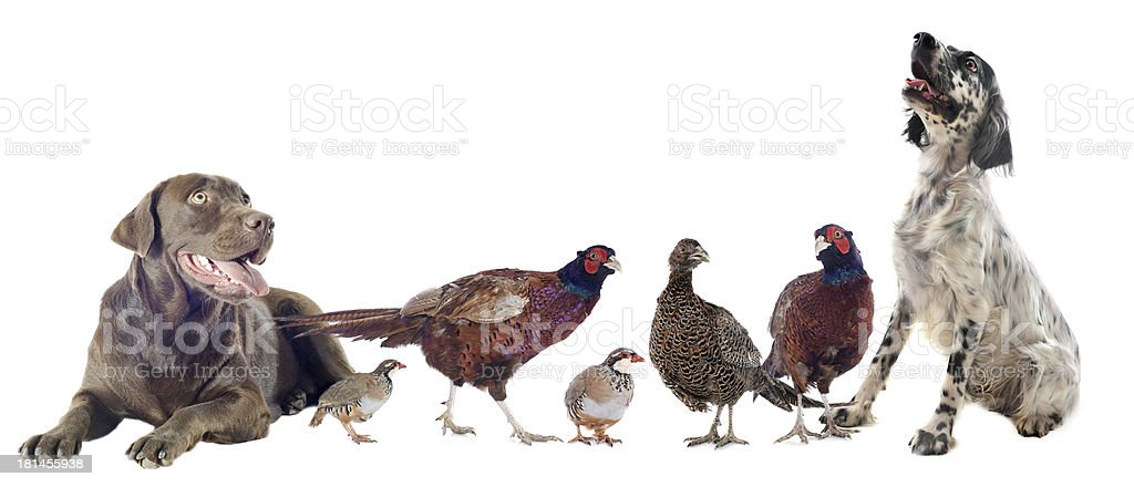 game birds and hunting dogs royalty-free stock photo