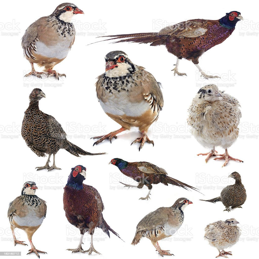 game birds stock photo