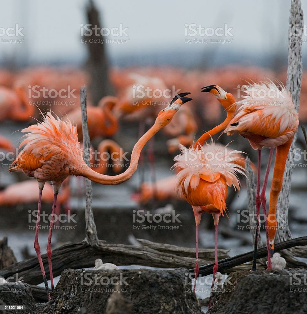 Game two adults of the Caribbean flamingo stock photo