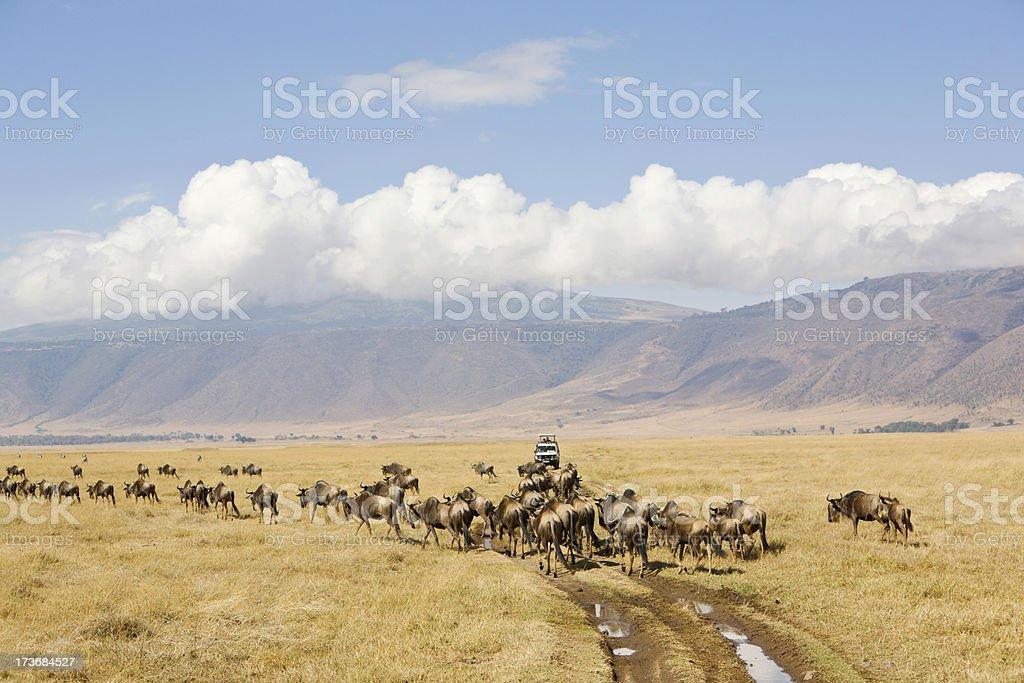 Game warching in Ngorongoro.Heard of gnu. stock photo