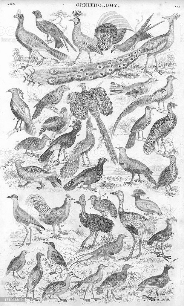 Gamebirds old litho print from 1853 stock photo
