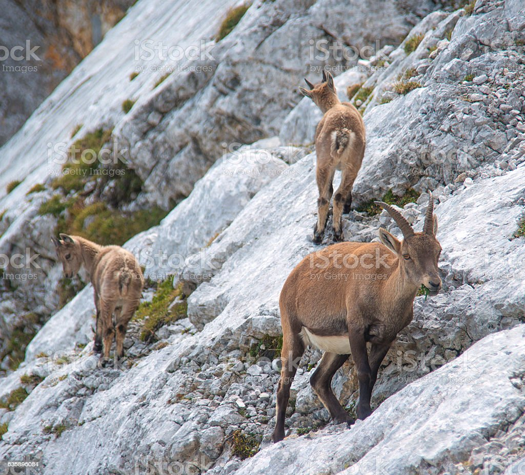 gams family in the wild nature stock photo