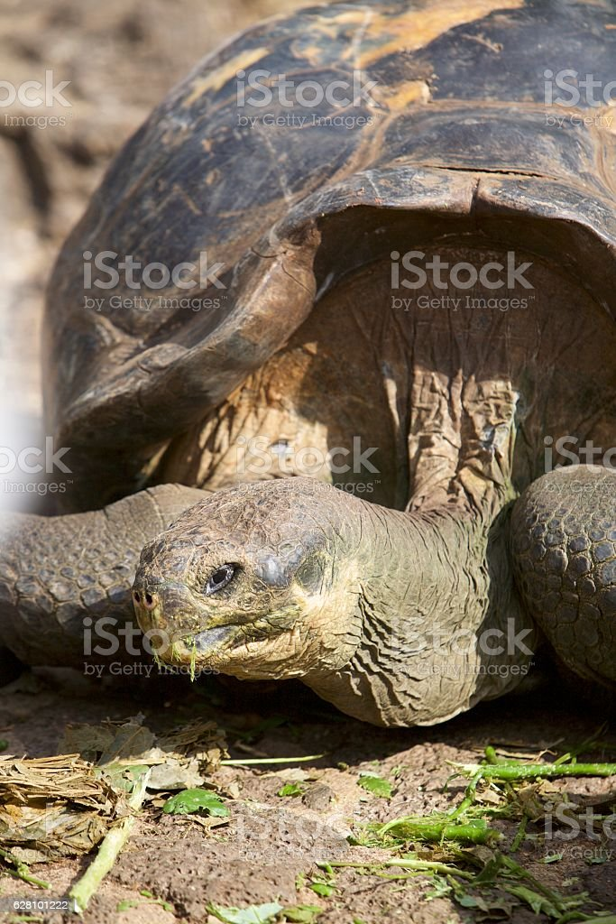Gan tortoise head stock photo