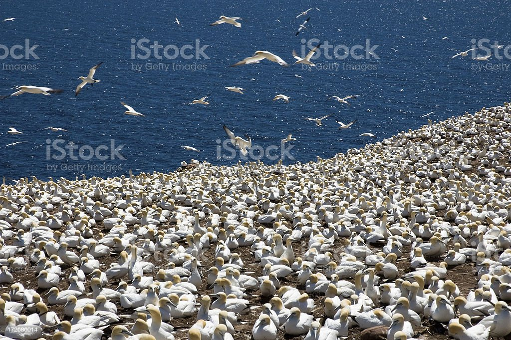 Gannet Colony and Sea stock photo