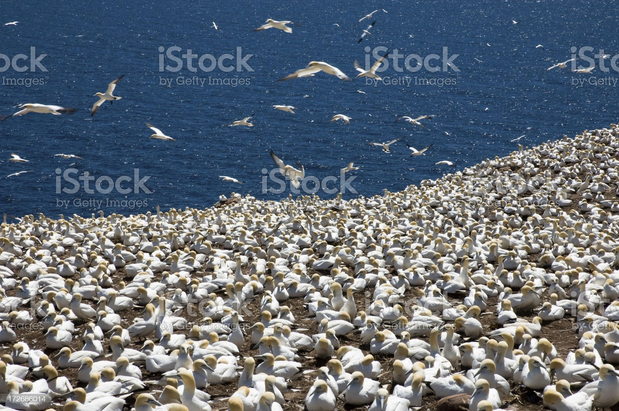Gannet Colony and Sea royalty-free stock photo