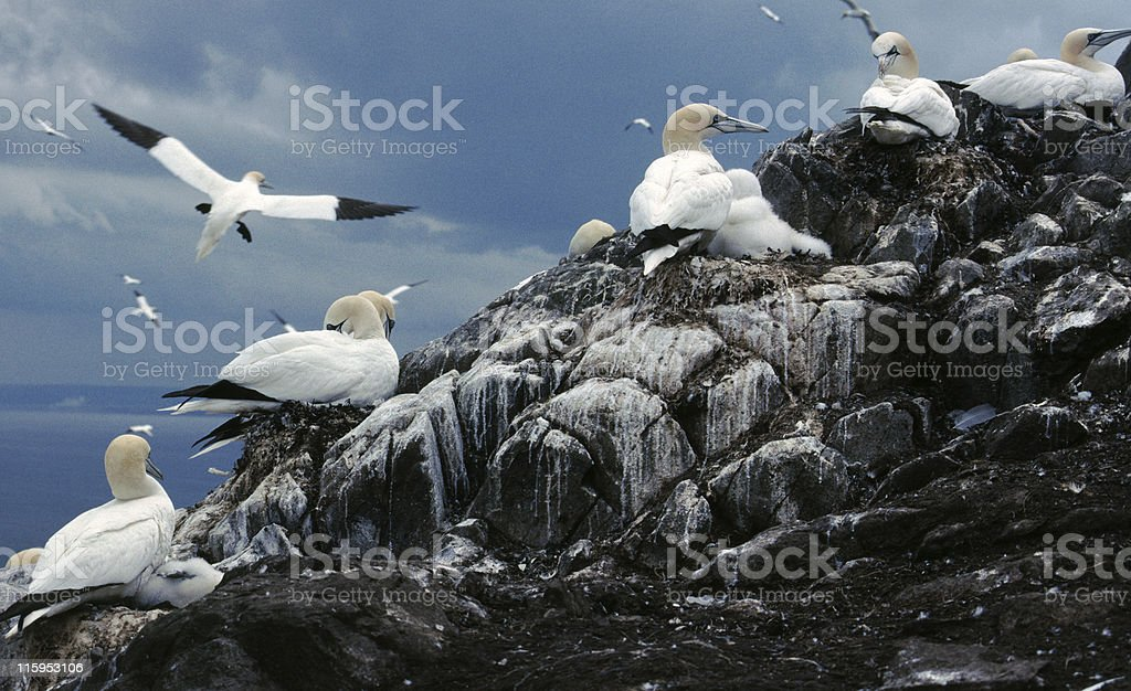 Gannet Colony, Bass Rock, Scotland royalty-free stock photo