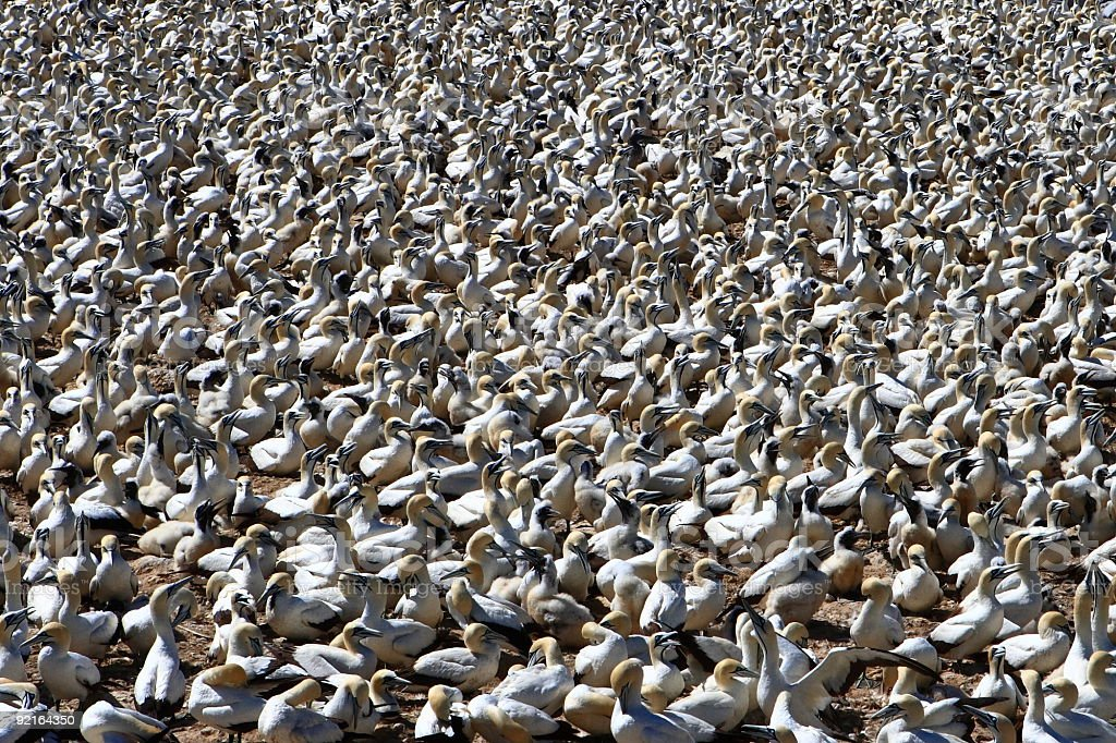 Gannet colony in South Africa stock photo