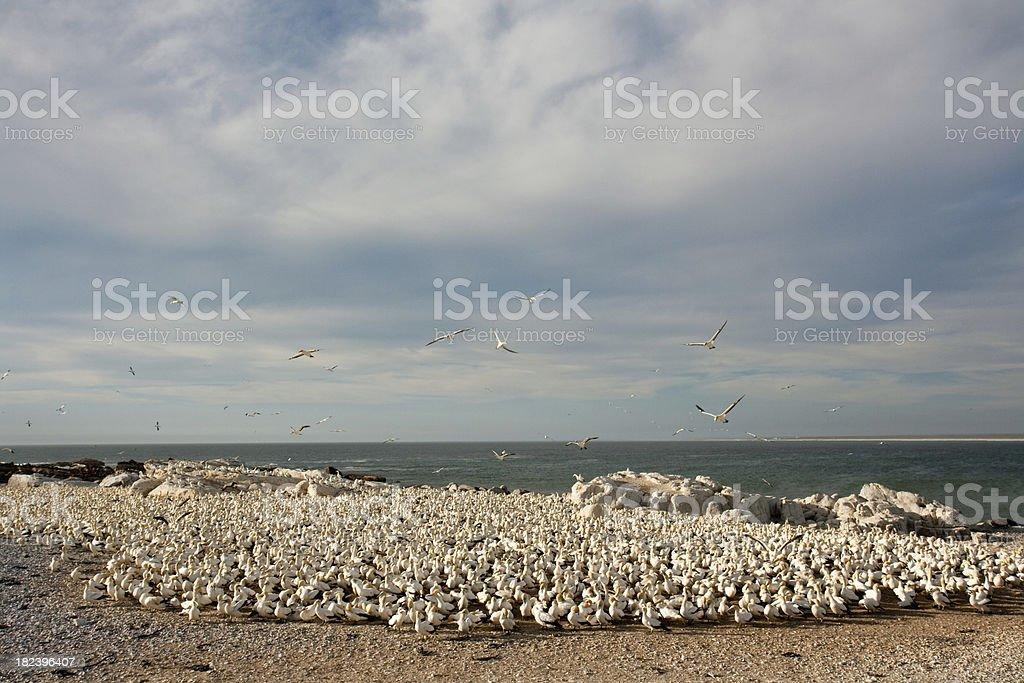 Gannet colony on the coast stock photo