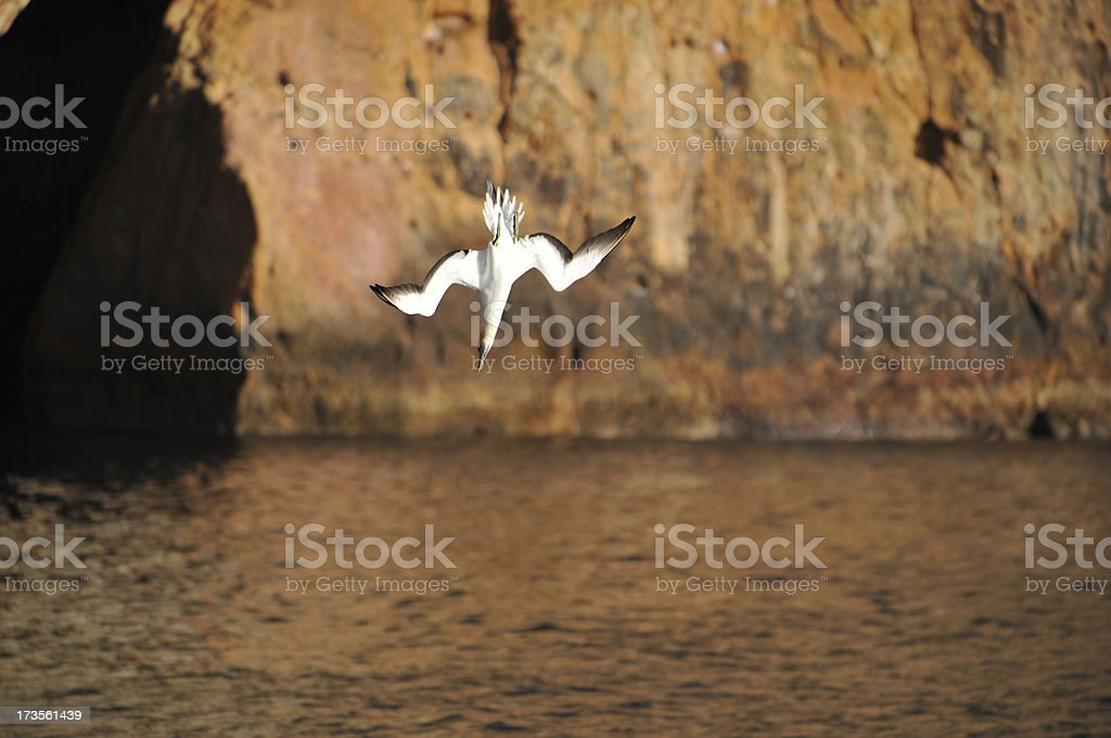 Gannet dives stock photo
