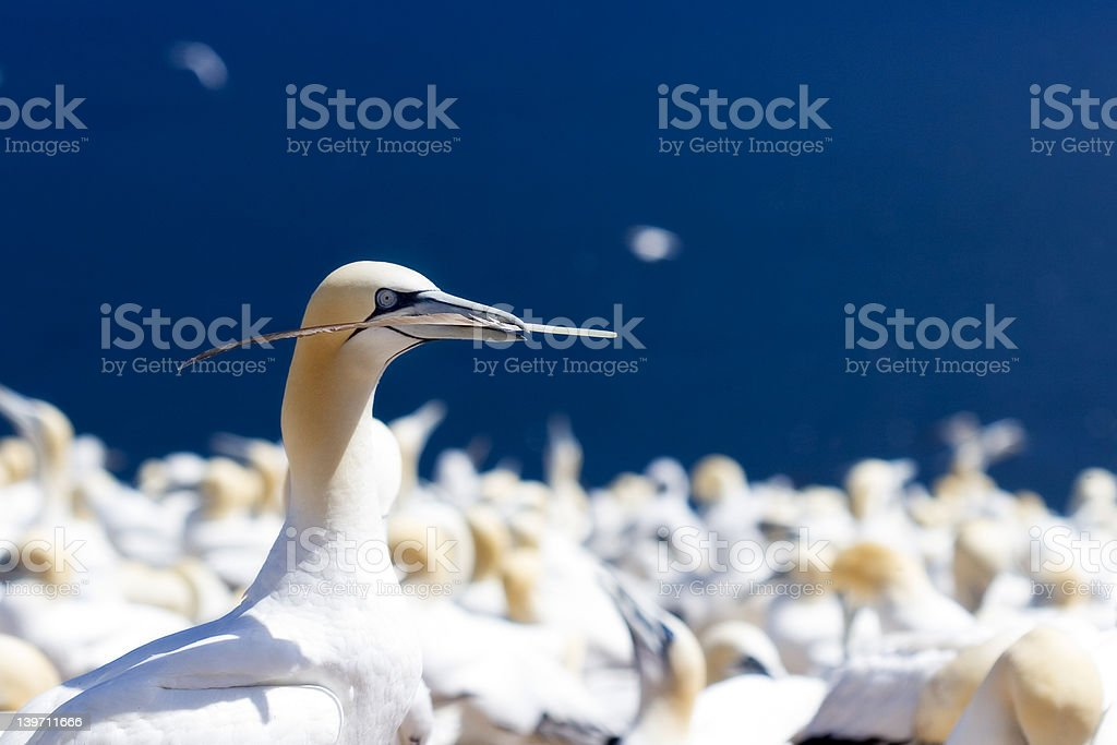 Gannet Feather stock photo