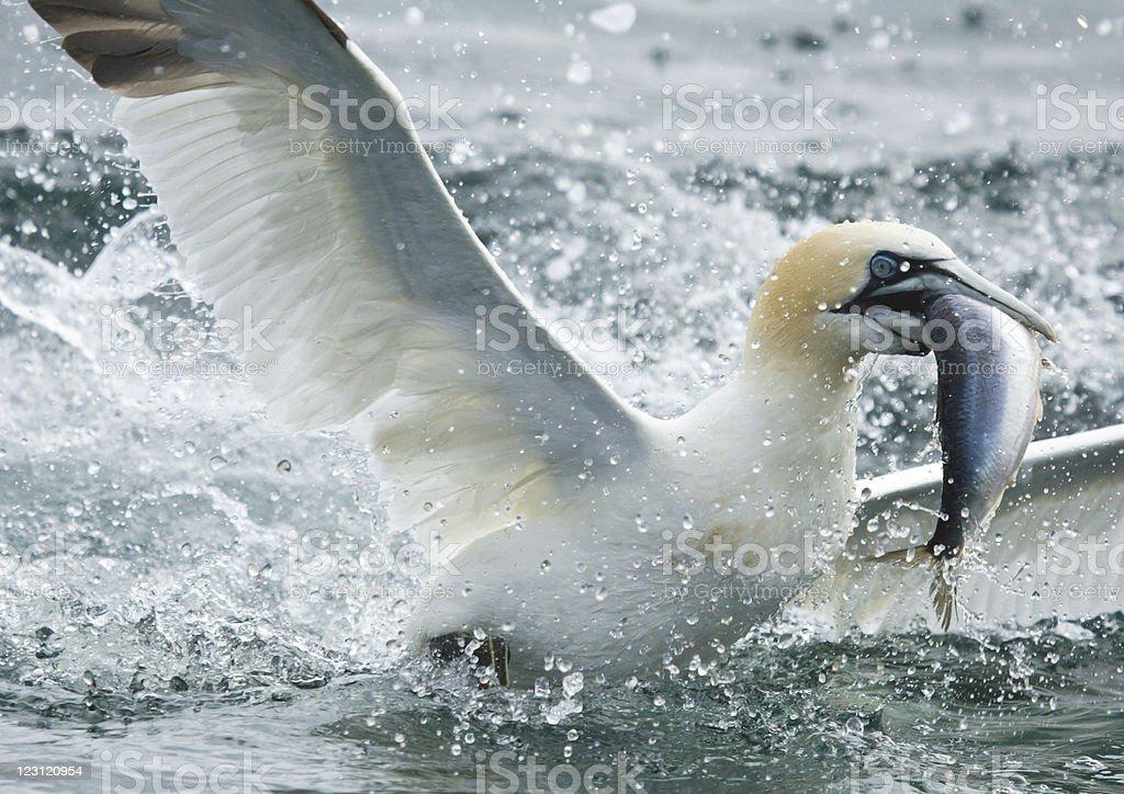 Gannet Feeding stock photo