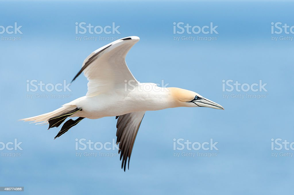 Gannet flying in the sky, bird in flight, Morus Bassanus. stock photo