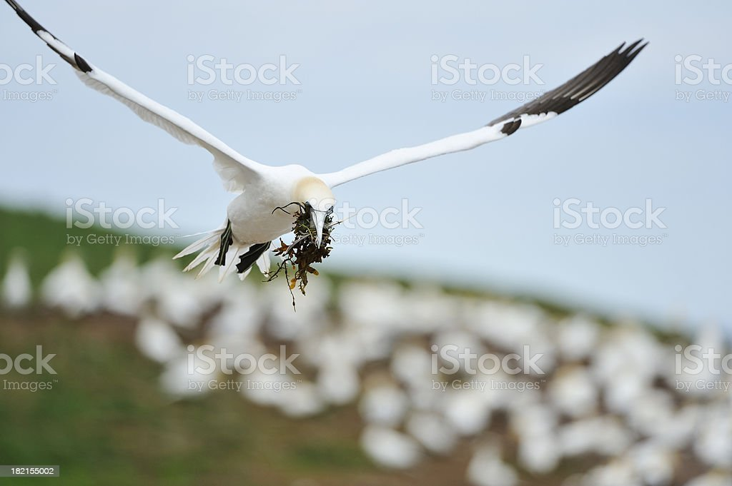 Gannet flying to his nest royalty-free stock photo