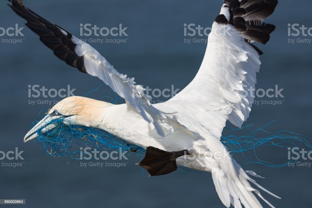 Gannet flying with blue nylon rope near island Helgoland, Germany stock photo