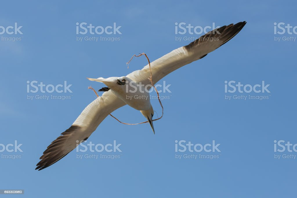 Gannet flying with rope near German island Helgoland stock photo
