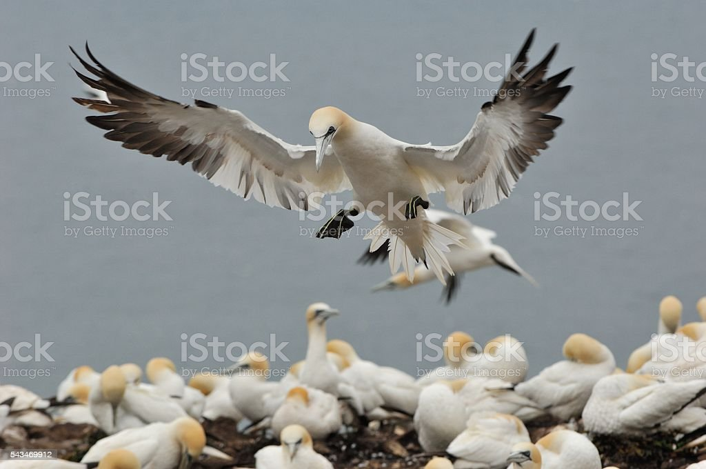 Gannet in flight to Bass Rock stock photo