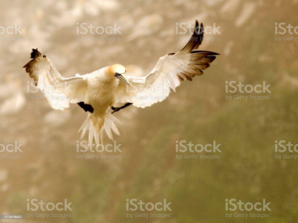Gannet Landing royalty-free stock photo