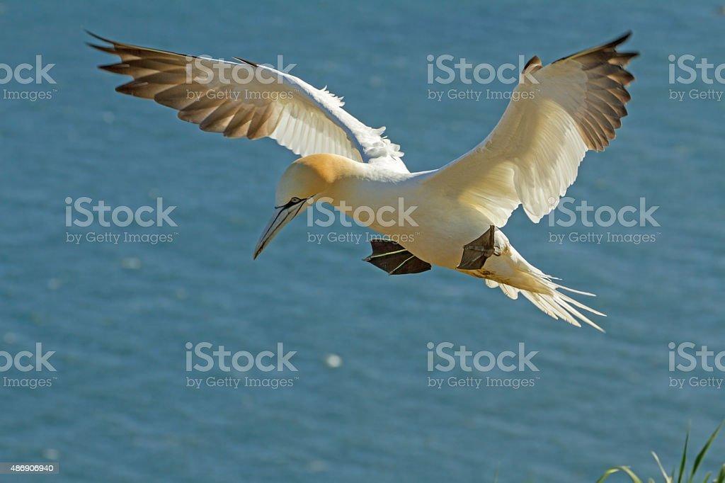 Gannet Landing stock photo