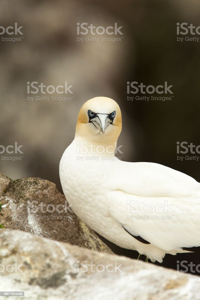 A gannet looking straight at me stock photo