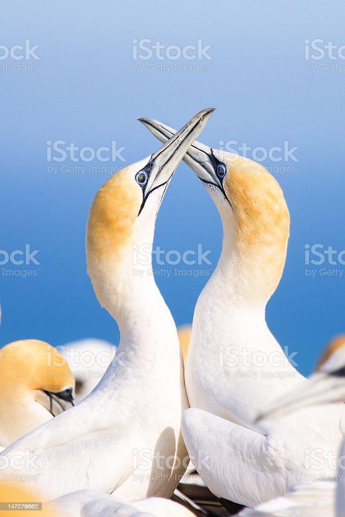 Gannet Love stock photo