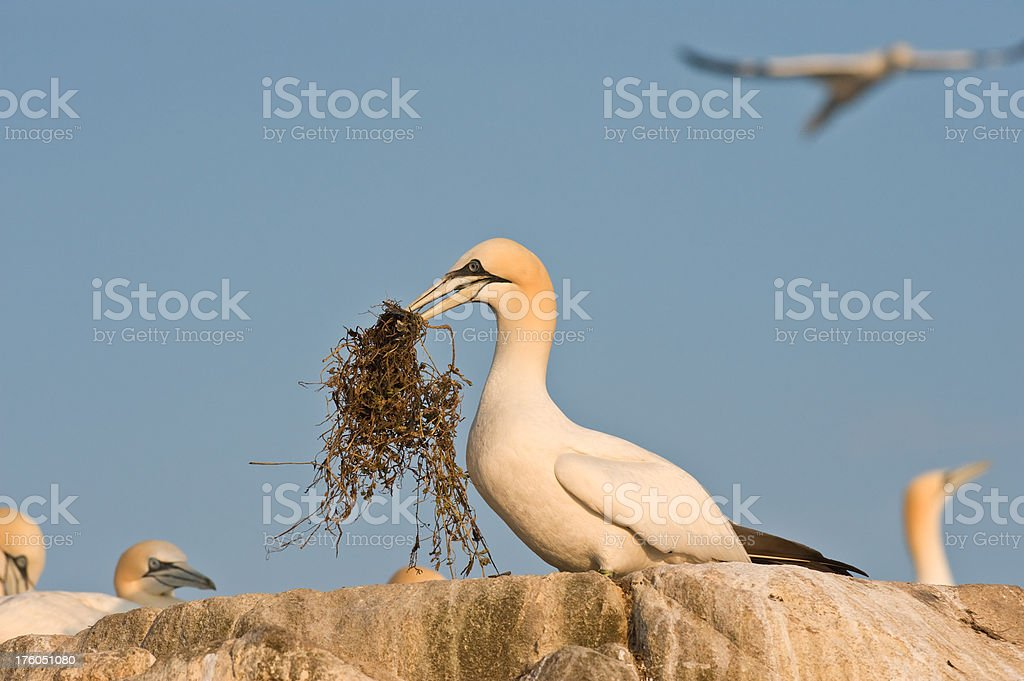 Gannet nesting at a Colony royalty-free stock photo