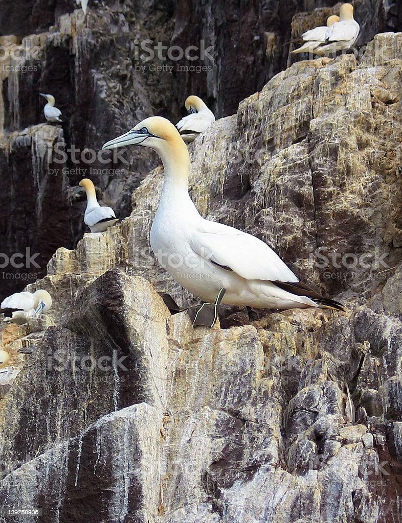 Gannet on Bass Rock stock photo