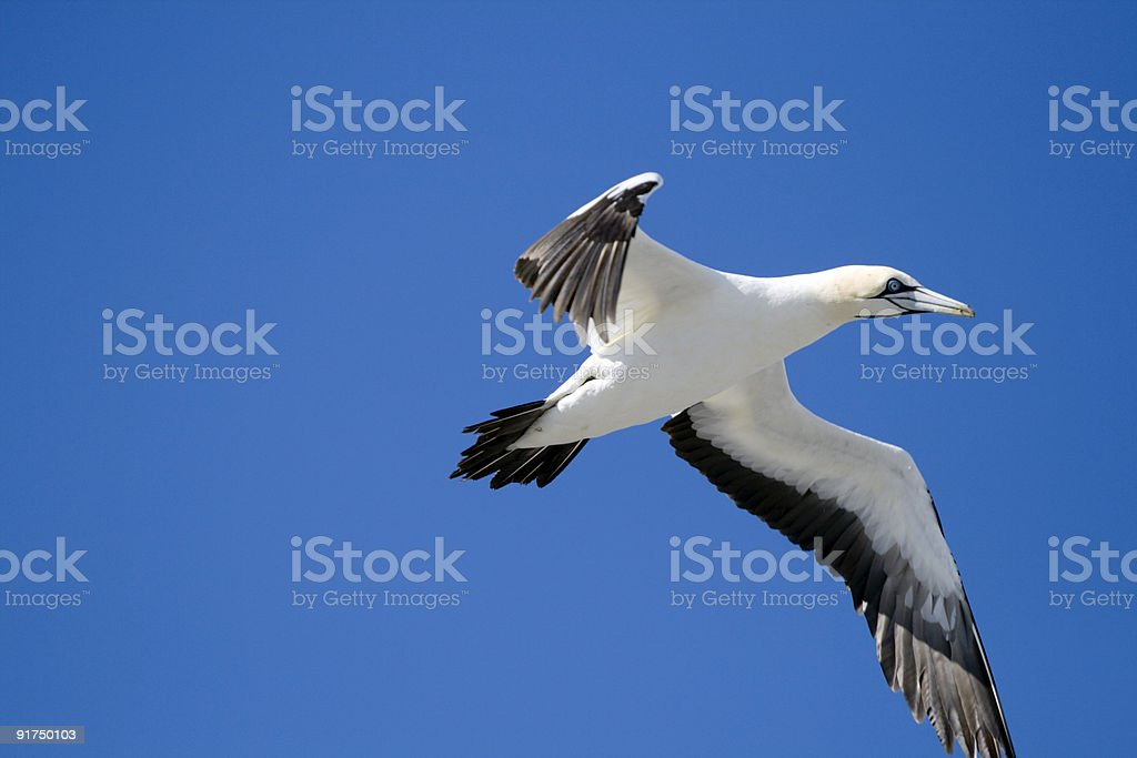 Gannet on the wing stock photo