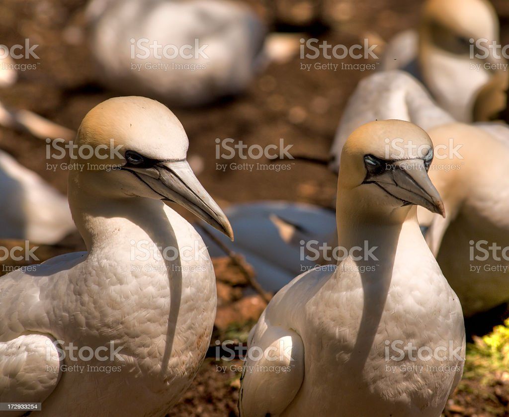 Gannet Pair stock photo