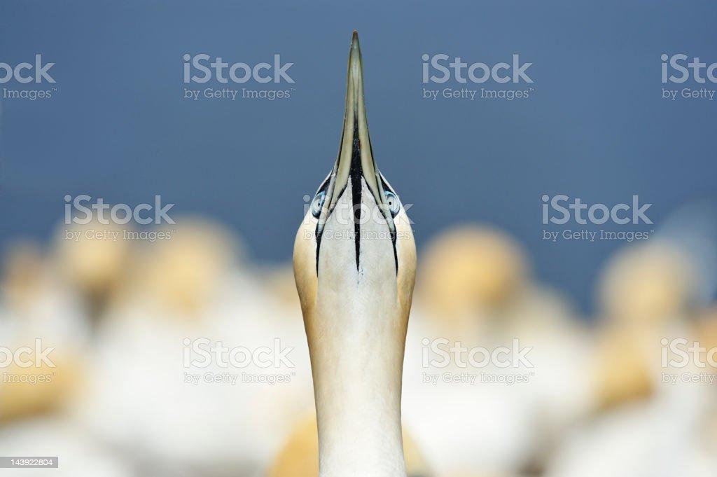 Gannet royalty-free stock photo