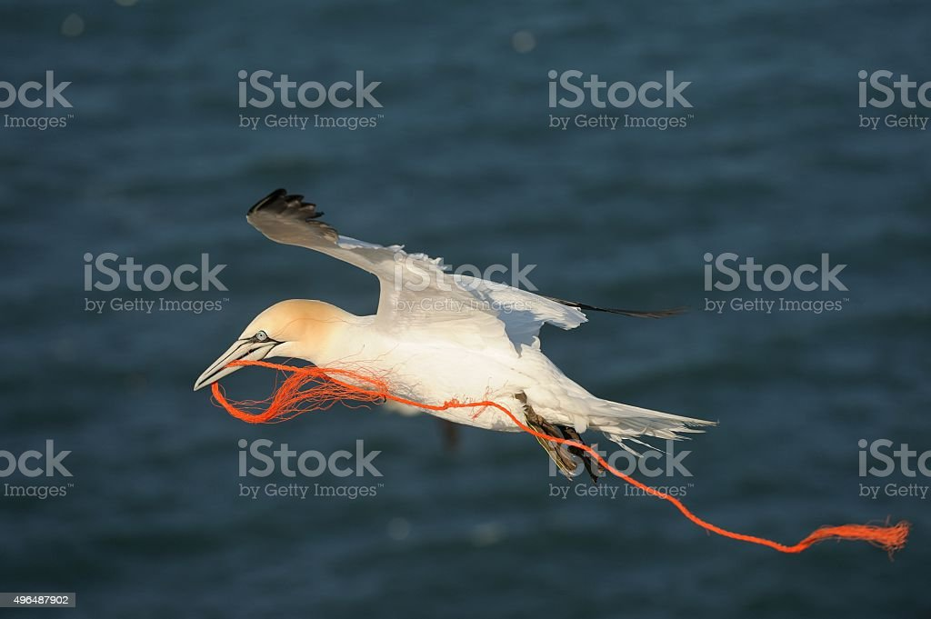 Gannet (Morus bassanus) stock photo