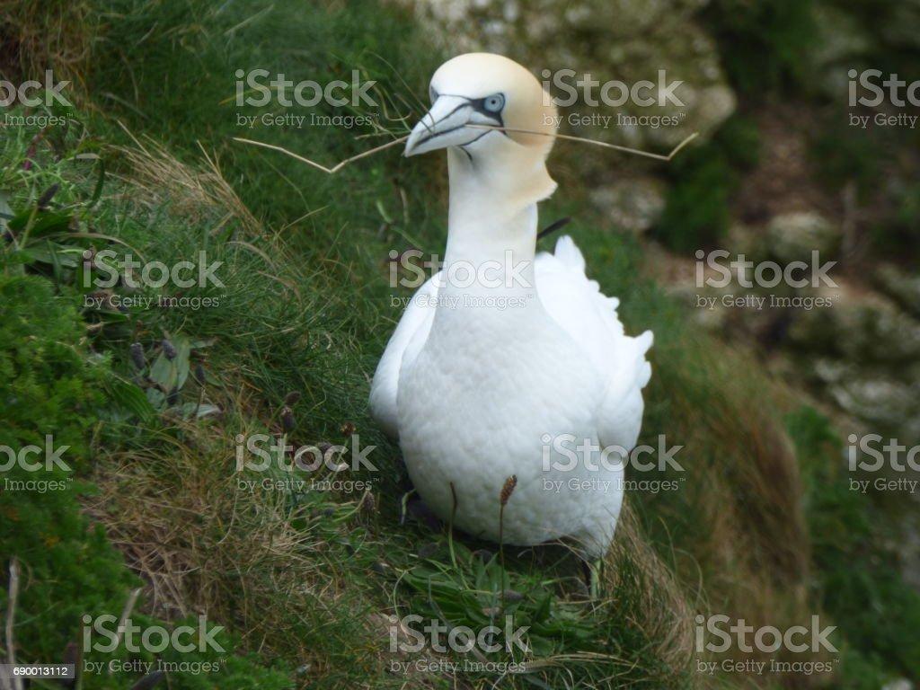 Gannet stock photo