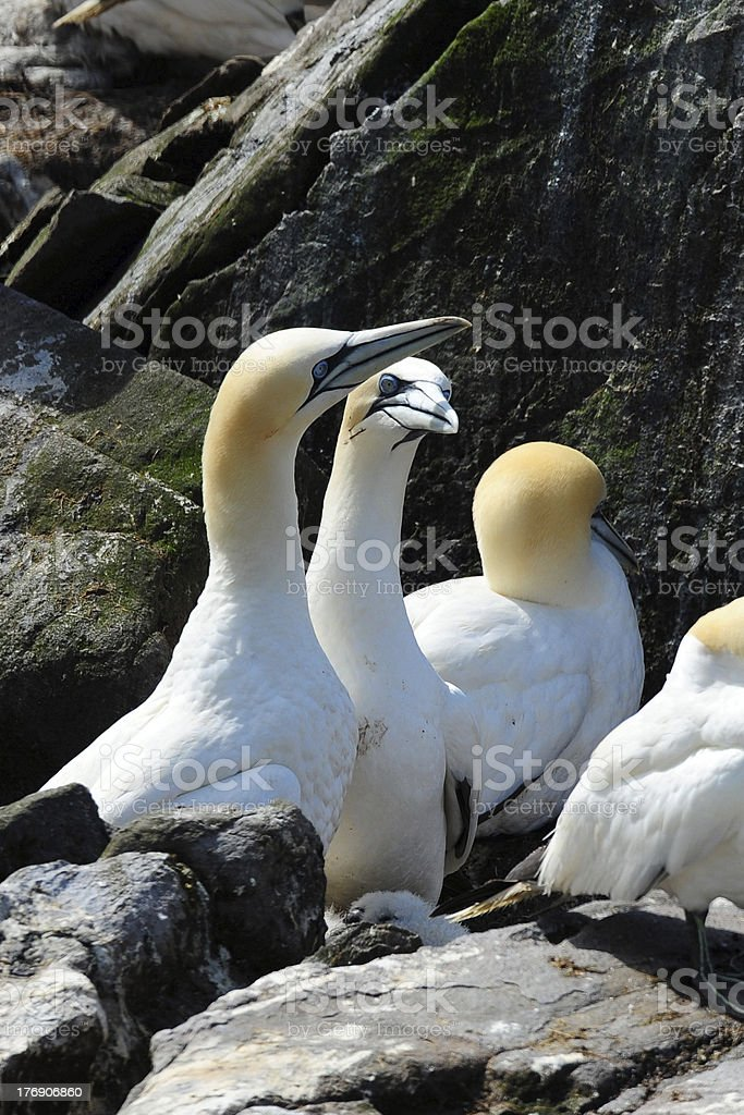 Gannet ritual stock photo
