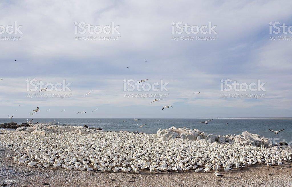 gannet sea birds stock photo